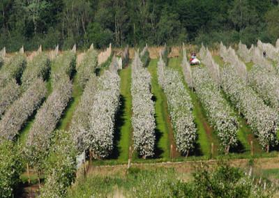 sad jabłkowy - grupa konary - świeże jabłka