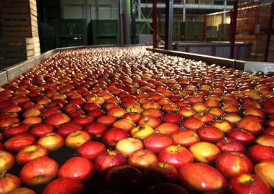 sortownia - grupa konary - świeże jabłka